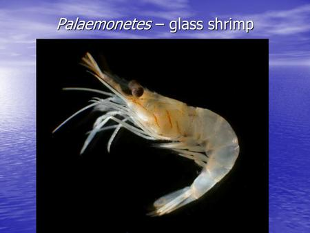 Palaemonetes – glass shrimp. Boundary Habitats Estuaries.