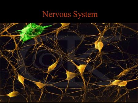 Nervous System. Neurons Humans have 100 billion neurons in the brain. The size and shape can vary All have the same main parts.