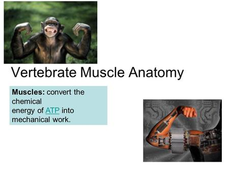 Objectives 32 2 The Muscular System - ppt video online download