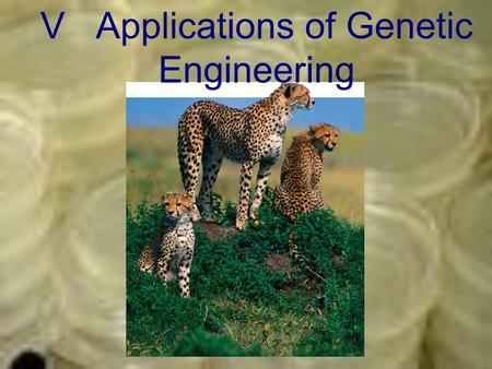 V Applications of Genetic Engineering. A. Transgenic Organisms –Transgenic Organisms An organism described as transgenic, contains genes from other species.