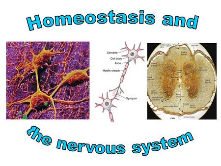 Homeostasis and the nervous system.