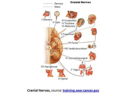 Cranial Nerves, source: training.seer.cancer.gov