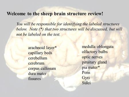 Welcome to the sheep brain structure review! arachnoid layer* capillary beds cerebellum cerebrum corpus callosum dura mater fissures medulla oblongata.
