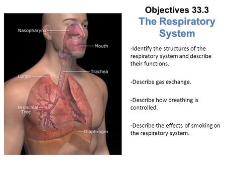 Objectives 33.3 The Respiratory System
