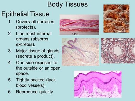 Body Tissues Epithelial Tissue 1.Covers all surfaces (protects). 2.Line most internal organs (absorbs, excretes). 3.Major tissue of glands (secrete a product).