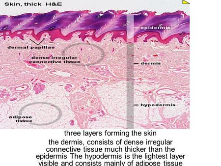 Three layers forming the skin the dermis, consists of dense irregular connective tissue much thicker than the epidermis The hypodermis is the lightest.