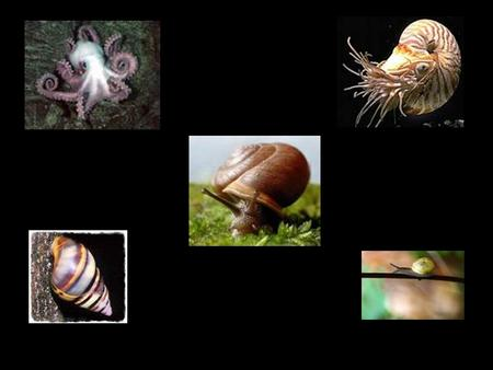 MOLLUSKS: Slugs, snails, and animal that once lived in shells in the ocean or on the beach. Slugs, snails, and animal that once lived in shells in the.