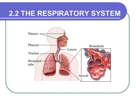 2.2 THE RESPIRATORY SYSTEM. Function The exchange of oxygen and carbon dioxide between the Red blood cells and the lungs The circulatory system transports.