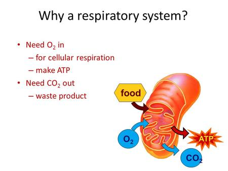 Why a respiratory system? Need O 2 in – for cellular respiration – make ATP Need CO 2 out – waste product O2O2 food ATP CO 2.
