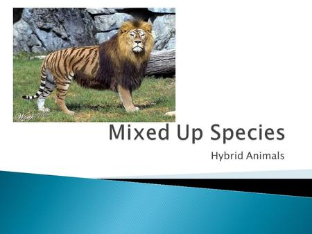 Hybrid Animals.  A Hybrid is a mating of two different species  Mutants are natural variations that occur due to spontaneous genetic changes or the.