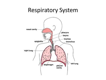 Respiratory System. Respiratory System Note guide page 556 – 559 Out with the bad air, in with the good Why do you need oxygen? To obtain energy from.