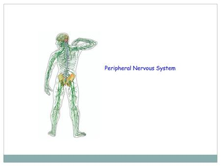 Two types of cells in the peripheral nervous system * SENSORY NERVOUS CELLS *MOTOR NERVOUS CELLS.
