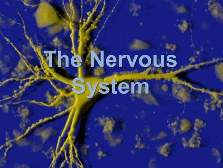 The Nervous System. ORGANIZATION Functions of the Nervous System SENSORY FUNCTION Gathers information from internal and external environs and transmits.