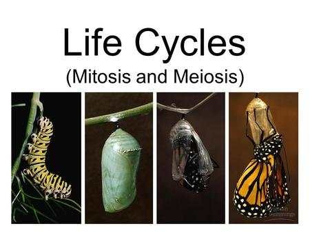Life Cycles (Mitosis and Meiosis). Mitosis Cell replication The segregation of identical chromosomes into 2 new cells, each containing exact copies of.