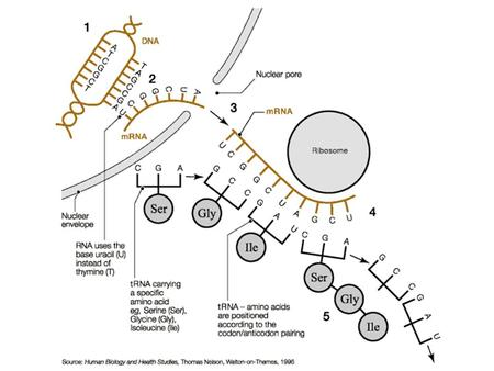 17.4 – Protein Synthesis and Gene Expression gene expression – the transfer of genetic information from DNA to protein As described.