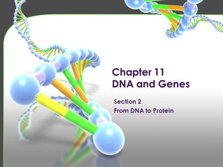 Chapter 11 DNA and Genes. Proteins Form structures and control chemical reactions in cells. Polymers of amino acids. Coded for by specific sequences of.