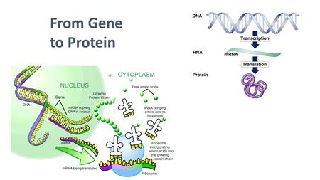 From Gene to Protein.