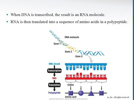 Copyright © John Wiley & Sons, Inc. All rights reserved.  When DNA is transcribed, the result is an RNA molecule.  RNA is then translated into a sequence.