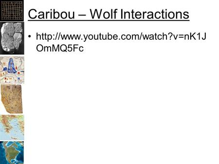 Caribou – Wolf Interactions  OmMQ5Fc.