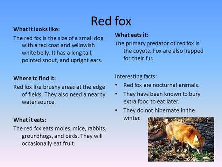 Red fox What it looks like: The red fox is the size of a small dog with a red coat and yellowish white belly. It has a long tail, pointed snout, and upright.