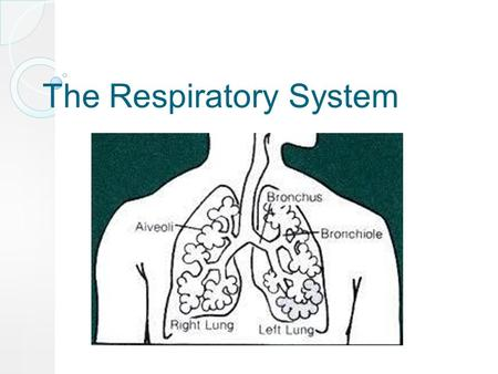 The Respiratory System. A system in which gases are exchanged.
