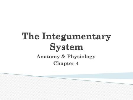 The Integumentary System Anatomy & Physiology Chapter 4.