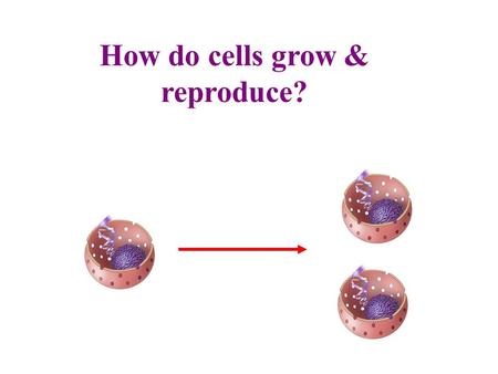 How do cells grow & reproduce?. In the Beginning – One Cell Most of the organisms start out as one cell Humans start out as a single cell, the zygote,