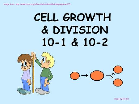 Image from:  Image by Riedell CELL GROWTH & DIVISION 10-1 & 10-2.
