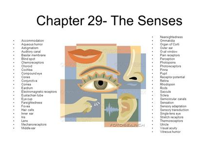 Chapter 29- The Senses Accommodation Aqueous humor Astigmatism Auditory canal Basilar membrane Blind spot Chemoreceptors Choroid Cochlea Compound eye Cones.