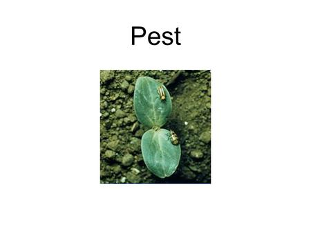 Pest. Insect and Pest Insects are small animals that have three body regions and three pairs or six legs. Body regions are head, thorax and abdomen.