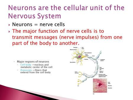  Neurons = nerve cells  The major function of nerve cells is to transmit messages (nerve impulses) from one part of the body to another. ◦ Major regions.