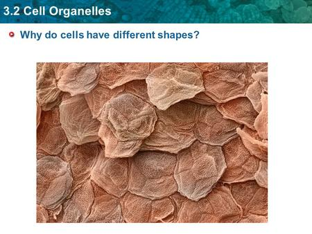 3.2 Cell Organelles Why do cells have different shapes?