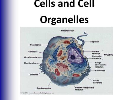 Cells and Cell Organelles. Cells and Tissues  Carry out all chemical activities needed to sustain life  Cells are the building blocks of all living.