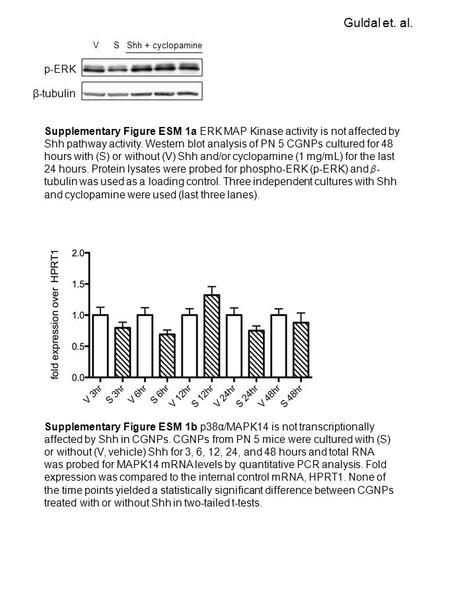 P-ERK β-tubulin VSShh + cyclopamine Supplementary Figure ESM 1a ERK MAP Kinase activity is not affected by Shh pathway activity. Western blot analysis.