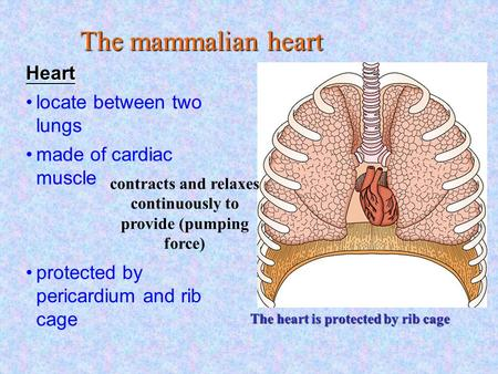 The heart is protected by rib cage locate between two lungs made of cardiac muscle protected by pericardium and rib cage contracts and relaxes continuously.