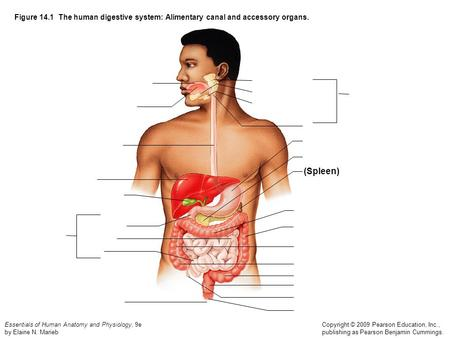 Figure 14.1  The human digestive system: Alimentary canal and accessory organs. (Spleen)