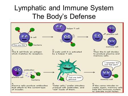 Lymphatic and Immune System The Body's Defense. Nonspecific Defense First Line of Defense –Skin –Mucous Membrane –Secretions.