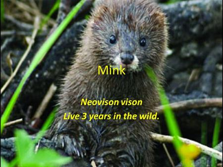 Mink Neovison vison Live 3 years in the wild.. Identification Minks are members of the weasel family and have a long slim body They are mainly active.