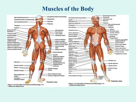 Muscles of the Body.