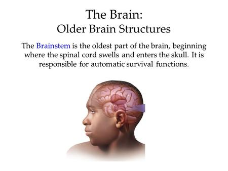 The Brain: Older Brain Structures The Brainstem is the oldest part of the brain, beginning where the spinal cord swells and enters the skull. It is responsible.