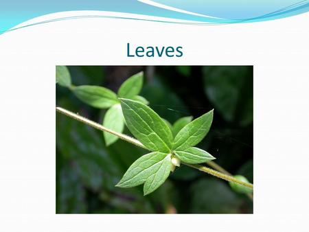 Leaves. Above ground plant organ used to capture sunlight for photosynthesis Typically flat and thin to allow light to penetrate fully into the tissues.
