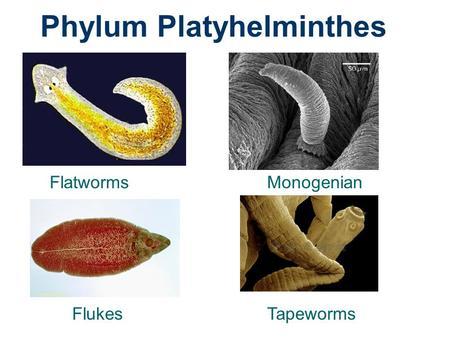 flatworms flukes și tapeworms