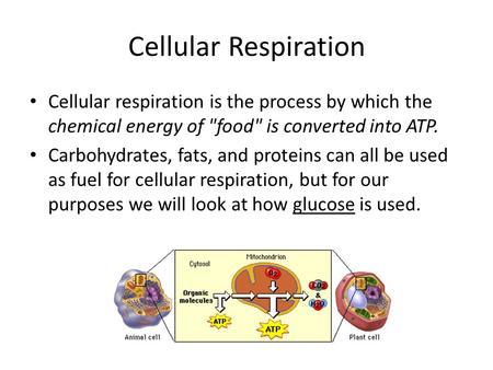 Cellular Respiration Cellular respiration is the process by which the chemical energy of food is converted into ATP. Carbohydrates, fats, and proteins.