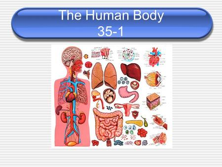 The Human Body 35-1. Body Organization Body Tissues 1) Connective – provides body support and connections 2) Epithelial – line exterior body and internal.