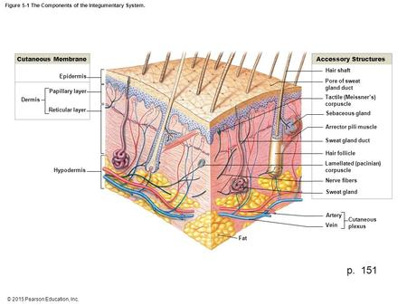 Figure 5-1 The Components of the Integumentary System.