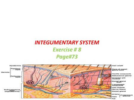 INTEGUMENTARY SYSTEM Exercise # 8 Page#73