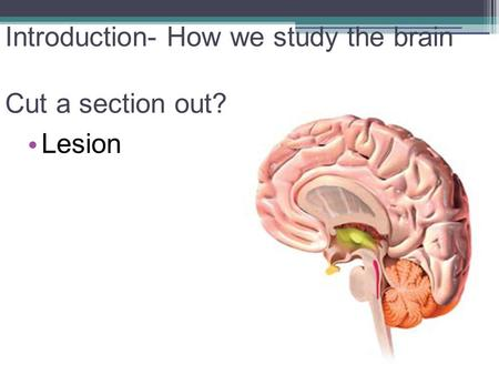 Introduction- How we study the brain Cut a section out? Lesion.