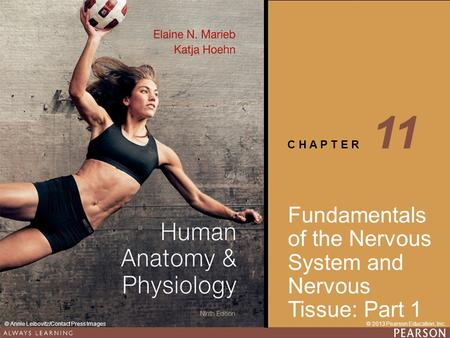 11 Fundamentals of the Nervous System and Nervous Tissue: Part 1.