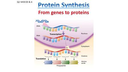 Q2 WK8 D3 & 4. How does DNA's message travel OUT of the nucleus and INTO THE CELL, where the message gets expressed as a protein??? This is known as…