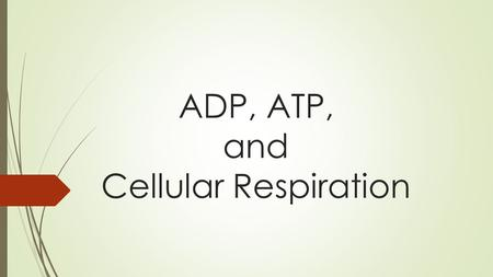 ADP, ATP, and Cellular Respiration